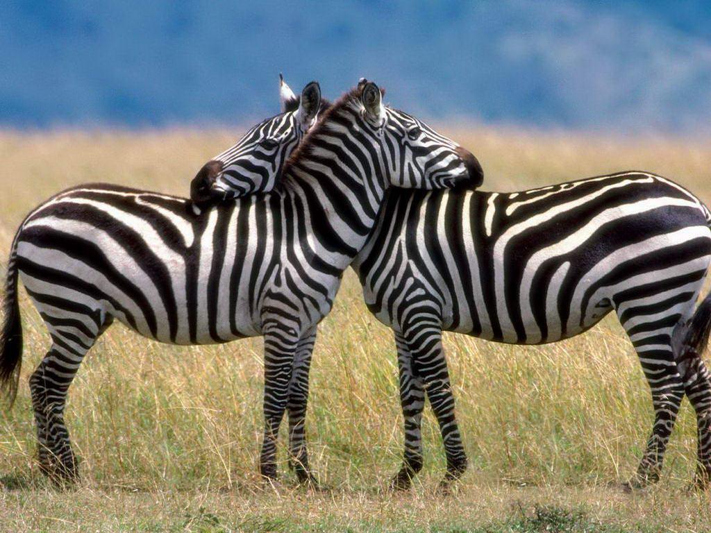 Stress ses og mærkes ligesom hos zebraen
